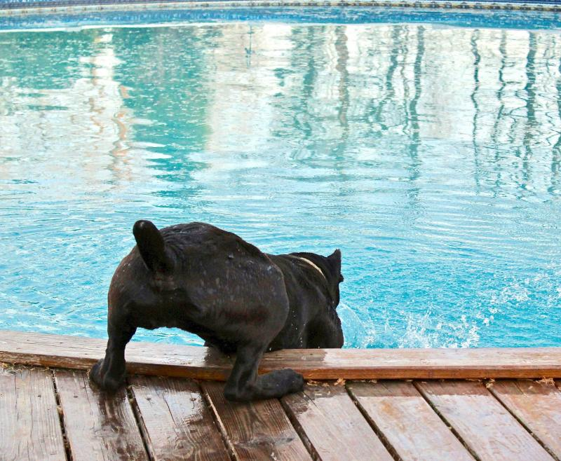 Cane Corso and Water