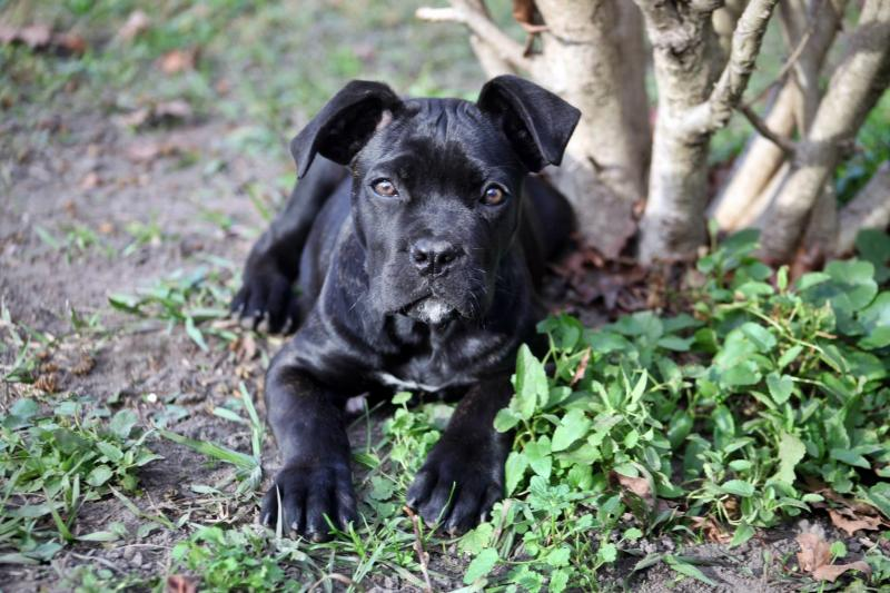Portos Sophie cane corso granddaughter