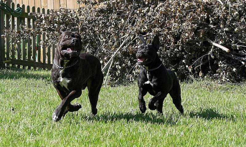 Cane Corso male Italian Mastiff Excellent Hip Scores