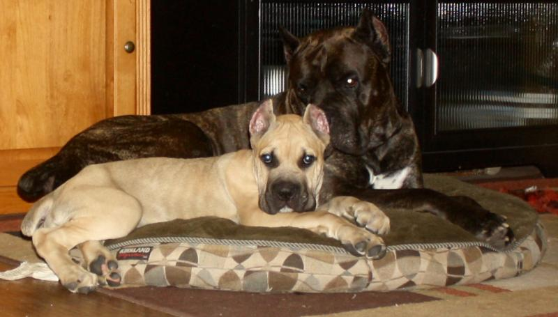 Pirates Den Cane Corso Home