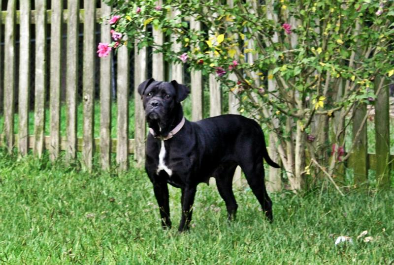 Black Female Cane Corso