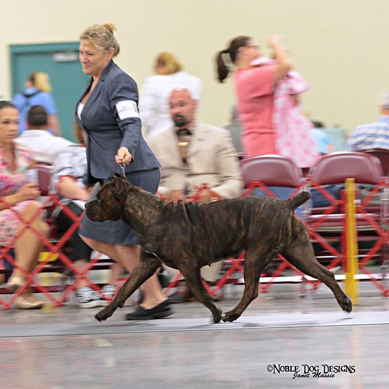 CCAA National Show Cane Corso female
