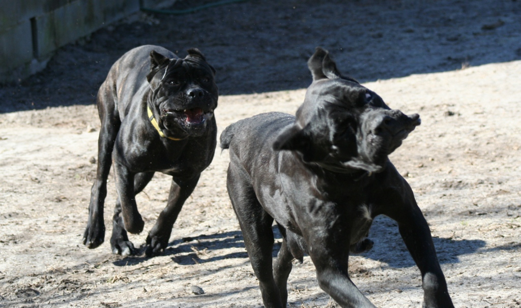 cane corso playing